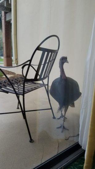 Wild Turkey on the patio