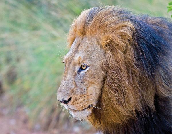 abd-safari-to-south-africa-lion-600